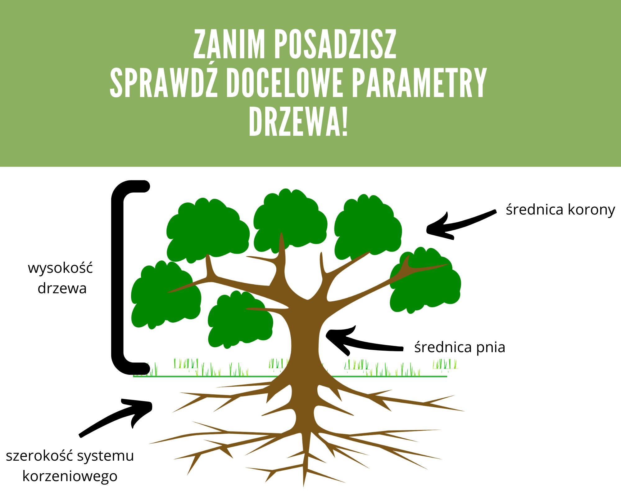 Na obrazku drzewo pokazana wysokość drzewa, średnica pnia, szerokość systemu korzeniowego,